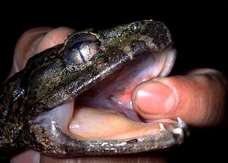 牙を持つカエル