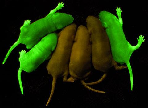 緑色蛍光タンパク質
