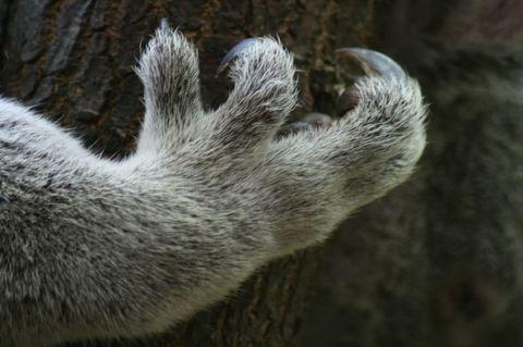 Koala finger