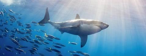 wallpaper-shark-photo-tn