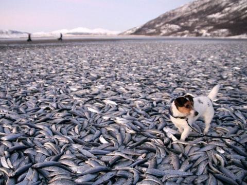 相次ぐ動物大量死 ノルウェーの砂浜に20トンの魚