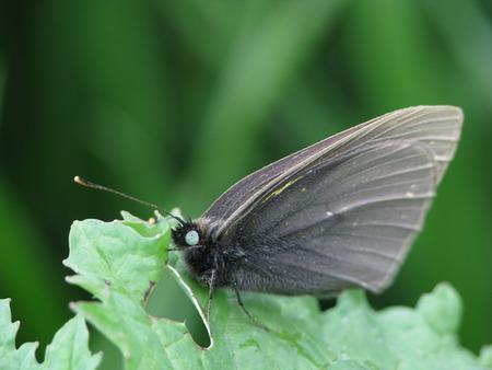 突然変異で黒いモンシロチョウが羽化