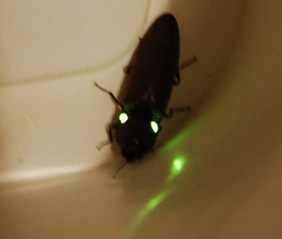 glowing_click_beetle_brad_2