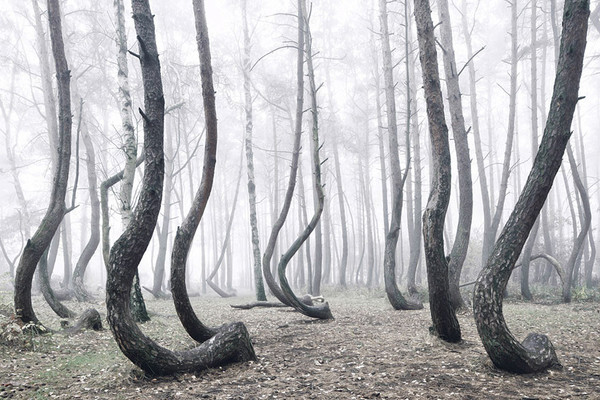 crooked-forest-krzywy-las-kilian-schonberger-poland-3