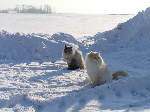 Neva_masquarade_cats_in_snow