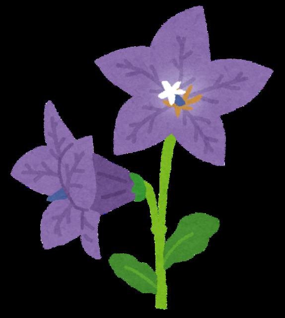 flower_kikyou.png